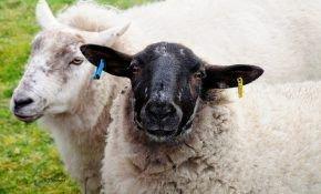 Чем кормить овец в домашних условиях