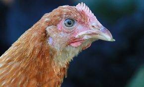 Клещ – злейший враг домашних птиц