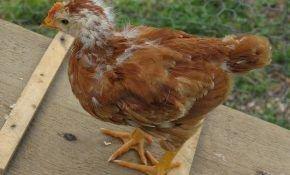 Причины и лечение выпадения перьев у кур