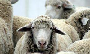 Основные заболевания овец и их симптомы