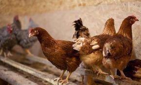 Характеристика курицы Хайсек: рекордсмены по яйценоскости