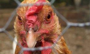 Причины и способы лечения поноса у кур?