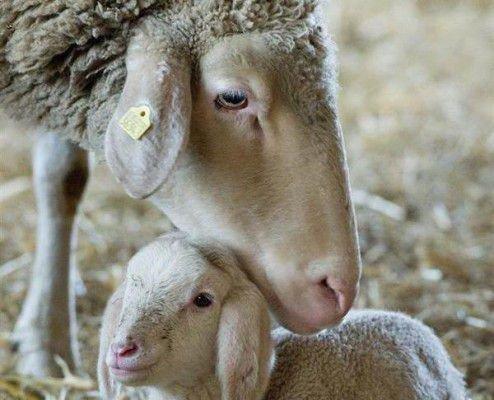Новорожденный ягненок