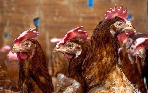 Условия жизни для кур