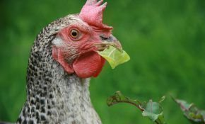 Пушкинская курица: описание породы