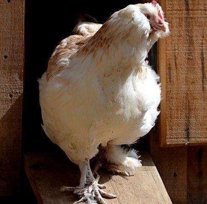 Курица на прогулке