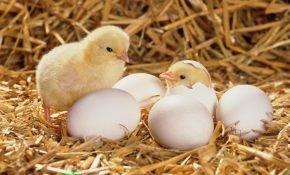 Варианты самодельных брудеров для цыплят: пошаговые инструкции с чертежами