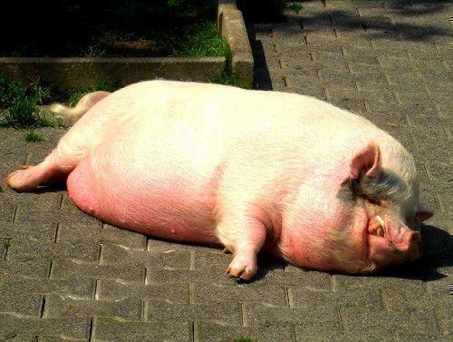 Жирная свинья