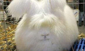Тонкости ухода и разведения за ангорскими кроликами