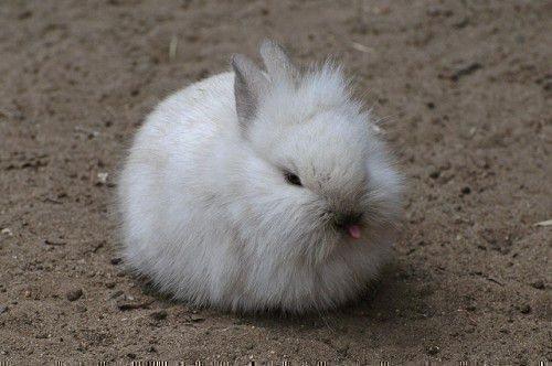 Ангорский кролк