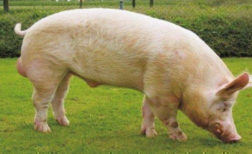 Белая большая свинья