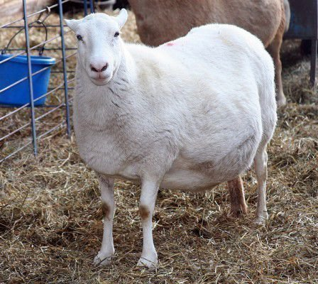 Овца беременна