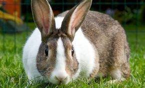 Разведение кроликов: продолжительность беременности