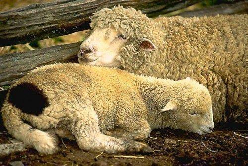 Животное с трудом встает при заболевании