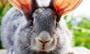 Ушной клещ (псороптоз) у кроликов