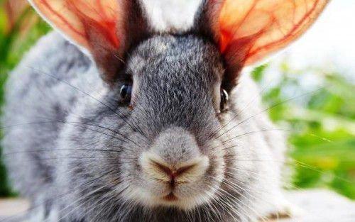 Большие уши кролика