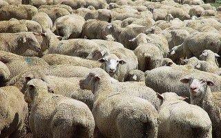 Болезнь и лечение брадзота у овец и как бороться