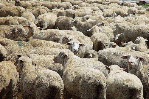 Браздот овец