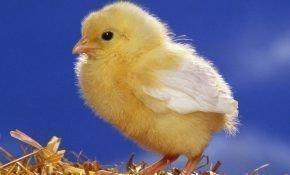 Как можно различить пол цыпленка