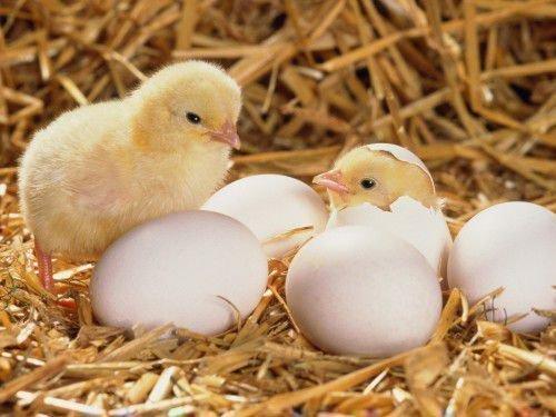 Цыплята и яйца