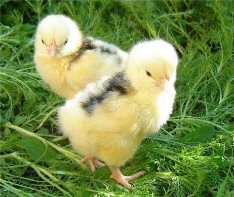 Цыплята-каннибалы