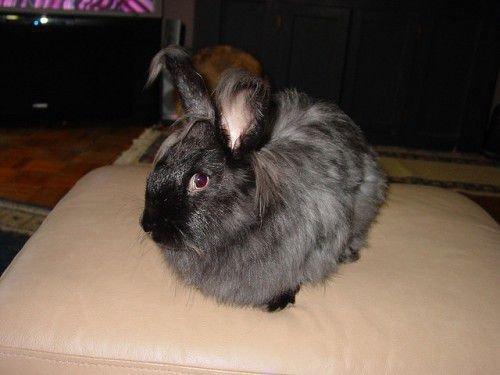 Длинношерстный кролик