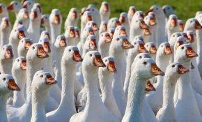 Самая выносливая и выгодная порода гусей - линда