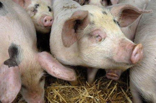 Иммунитет у свиней