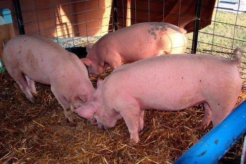 Здоровые свиньи