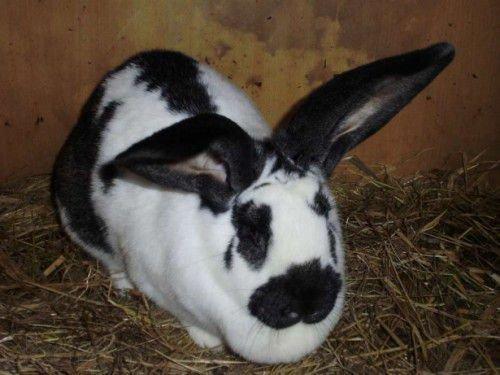 Изолированный кролик