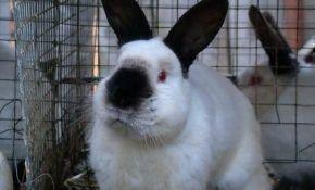 Особенности разведения калифорнийского кролика