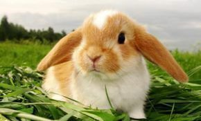 Продолжительность жизни у карликовых кроликов