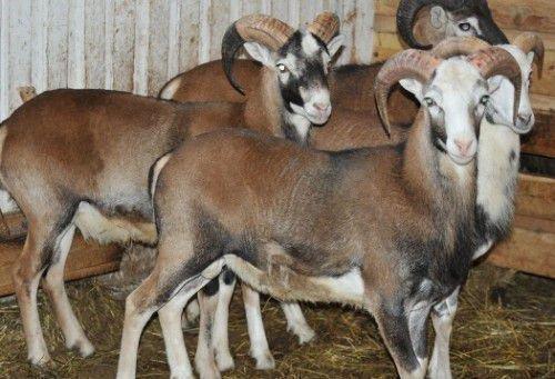Катумская гладкошерстная овца