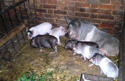 Кирпичный свинарник