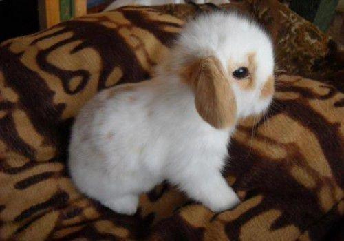 Кокцидиоз кроликов