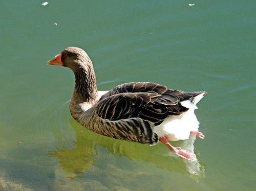 Коликобактериоз у гуся