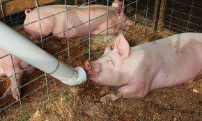 Нормы выкорма свиней и поросят в домашнем хозяйстве