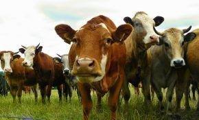Что нужно знать, для того, чтобы купить корову