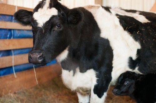 Корова в помещении