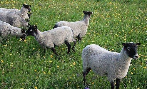 Крепкие овцы