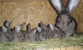 Уход за потомством у кроликов