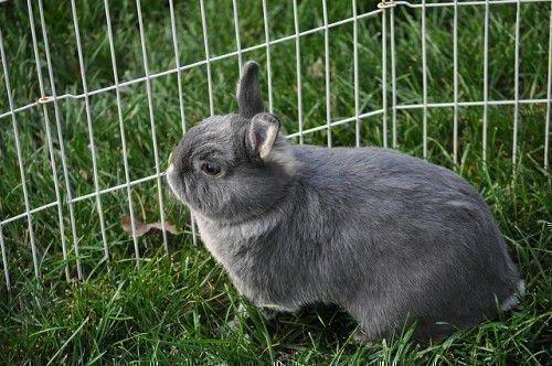 Кролики для скрещивания