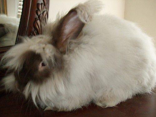 Кролик ангорка