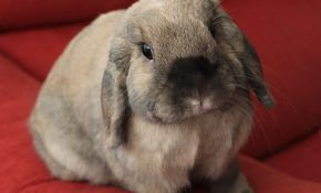 Пушистые, вислоухие кролики из породы баран