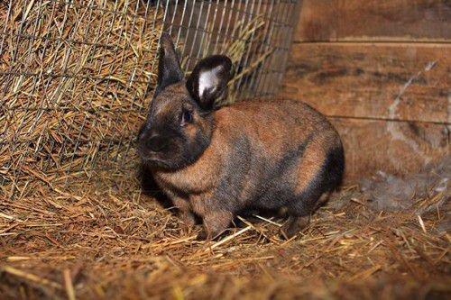 Кролик чернобурый