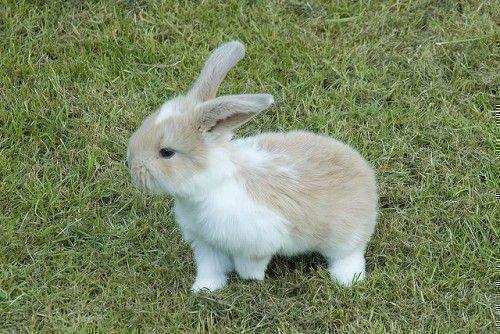 Кролик декоративной породы