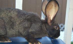 Древнейшей породой считаются кролики породы фландр