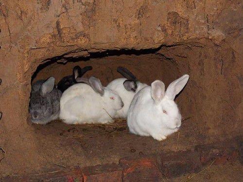 Кролик копает нору