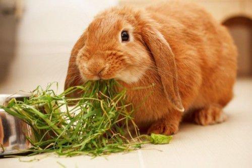 Декоративный кролик кушает