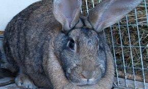 Особенности разведения кроликов мясных пород